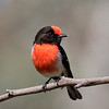 Red-capped Ronin,  male_9233