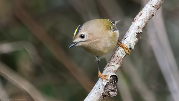 Goldcrest at Woolhampton 5 - 11th November2019