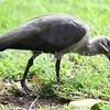 Bostrychia hagedash – Hadada ibis 4