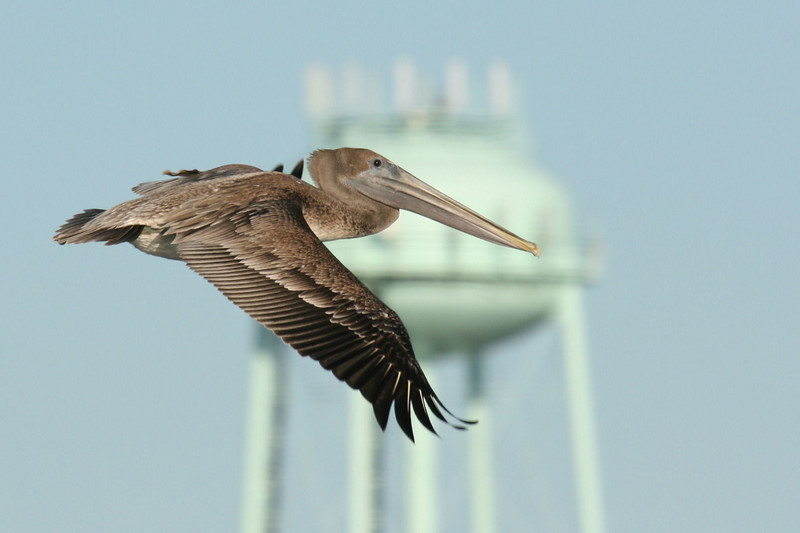 Pelican at Topsail Beach! #4