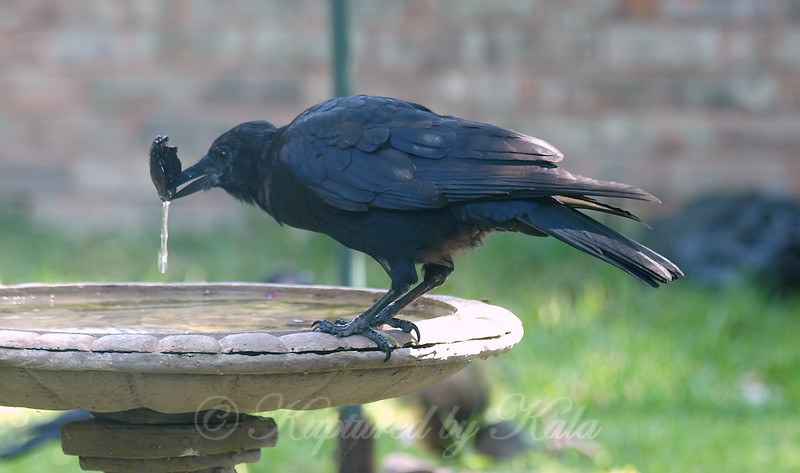 Silly Crow!  You Can't Eat An Empty Pecan Shell