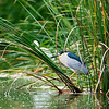 Black_crowned Night Heron