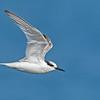 Little tern (Sterna albifrons sinensis)