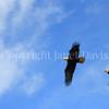 Haliaeetus leucocephalus – Bald eagles on power pole 4
