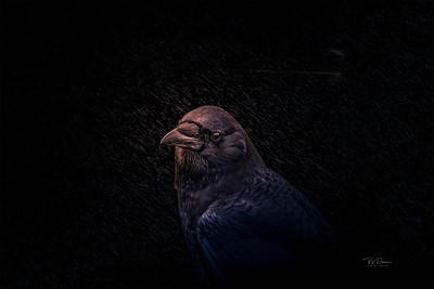 Crow portrait at night