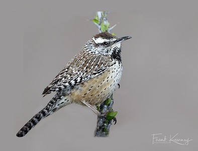 Cactus Wren - Arizona State Bird