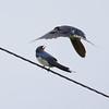 Swallow Dive 1