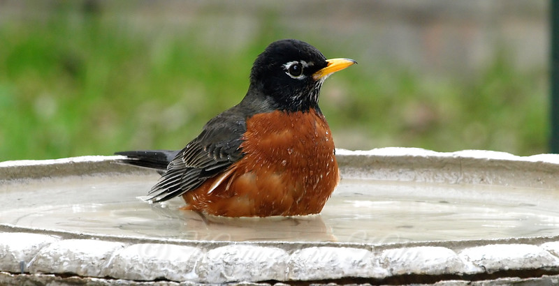 Red Robin In The Bath
