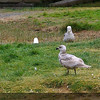 Canada Goose and Gulls