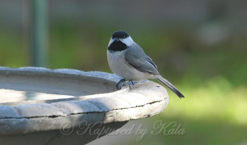 Chickadee At My Birdbath View 2