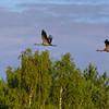 Grus grus | Common crane | Kranich