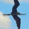 Magnificient Frigate Bird in flight.