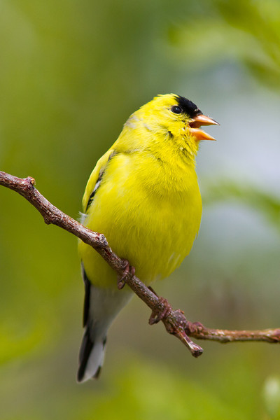 Songs of spring! American Goldfinch, male.