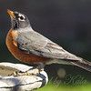Robin With Deformed Legs