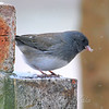 Dark-Eyed Junco In The Falling Snow