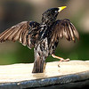 Zombie Starling
