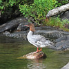 Mergus merganser-Common merganser 5