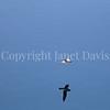 Fulmarus glacialis - Northern fulmar 16