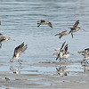 Bar-tailed Godwits, Unnamed Island, The Broadwater, Gold Coast, QLD.