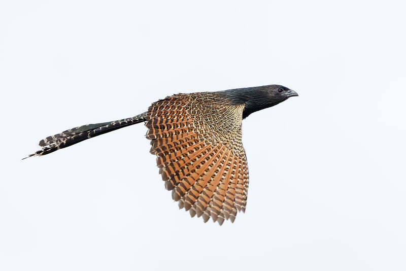 Pheasant Coucal, Federation Walk, Gold Coast, Queensland.