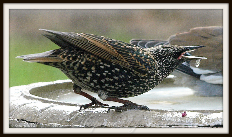 Male European Starling Spitting at Doves