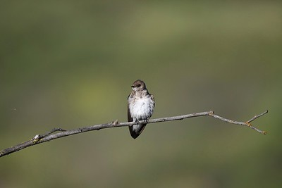Northern Rough-winged Swallow (Stelgidopteryx serripennis)