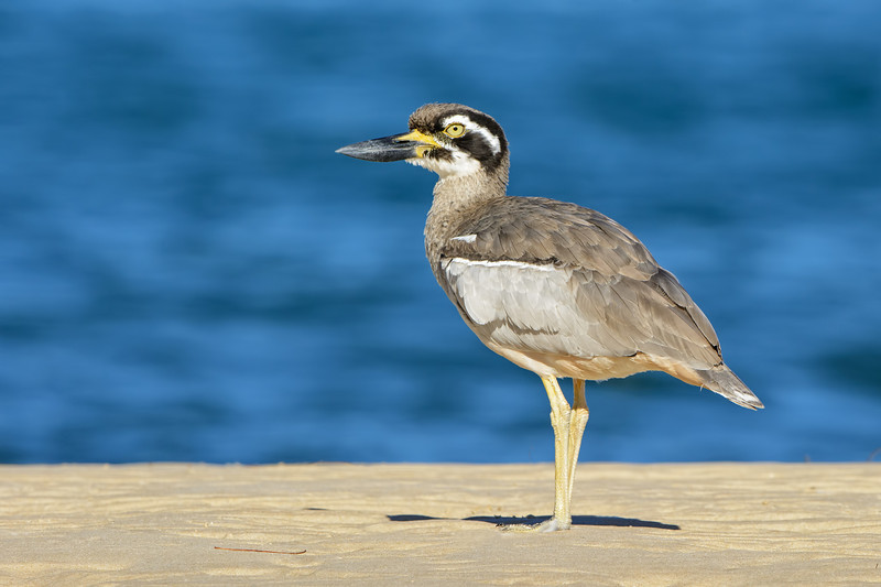 Beach Stone-curlew, The Broadwater, Gold Coast, QLD, Australia.