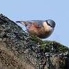 Nuthatch at Bowdown Woods 2