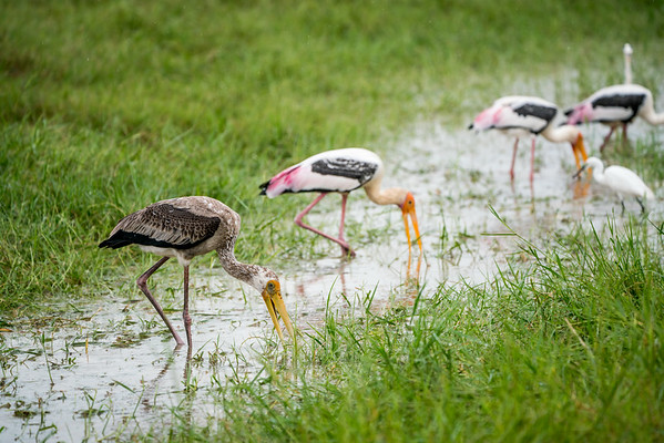 Juvenile painted stork in the eating amongst the adults