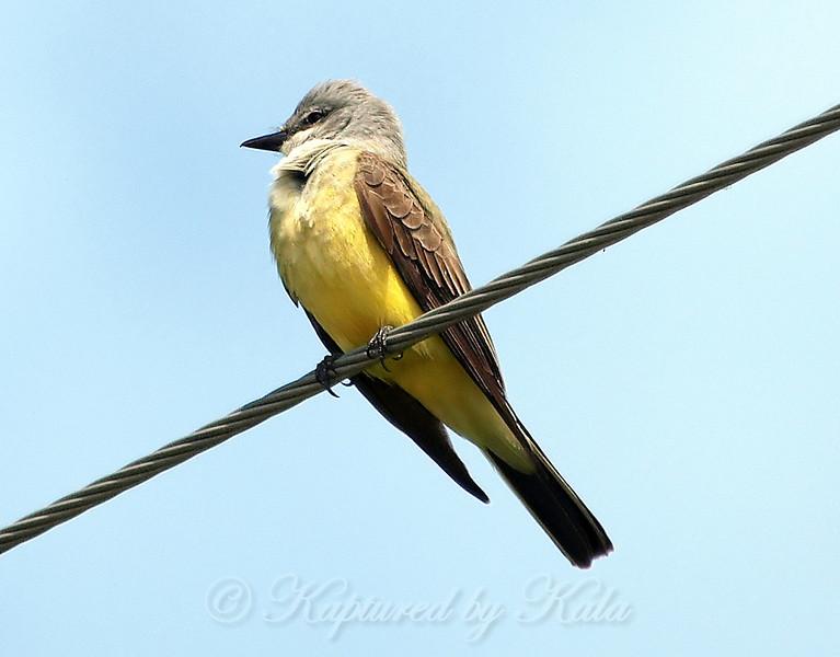 Western Kingbird On A Wire