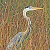 Great Blue Heron in its natural habitat.