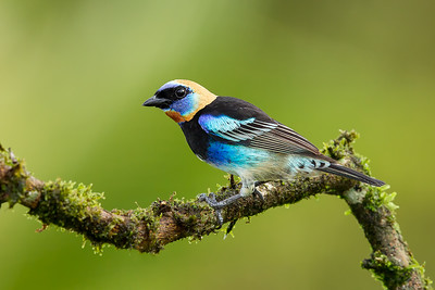 golden crowned tanager