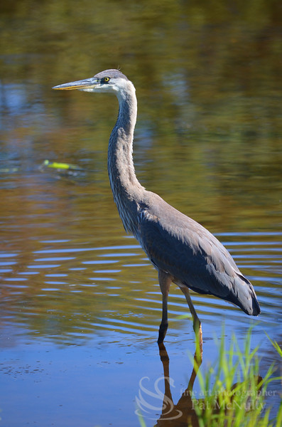 Blue Heron Bird Picture