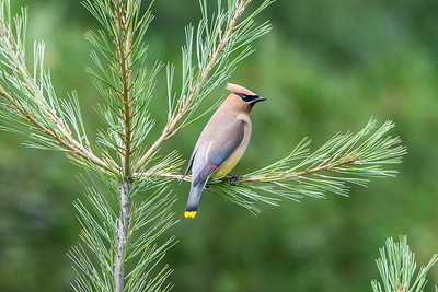 Cedar Waxwing on pine