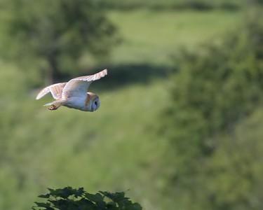 Barn Owl over Kingsclere 14th June 2017 2
