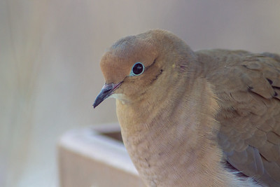 Mourning Dove at Scioto Audubon