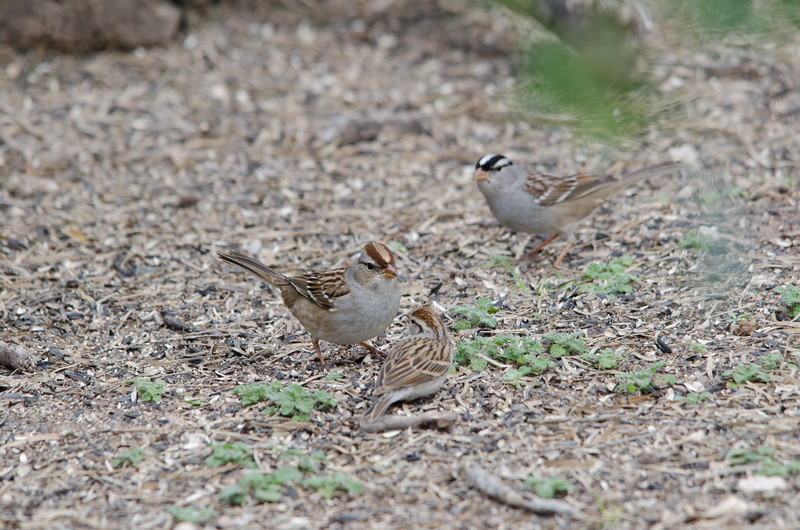 White-crowned Sparrow (family)