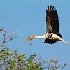 Painted Stork Nesting / Индийский аист-клювач вьет гнездо