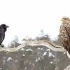Rawen teases a White-tailed eagle