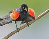 A Red-winged Blackbird Shows His Colors