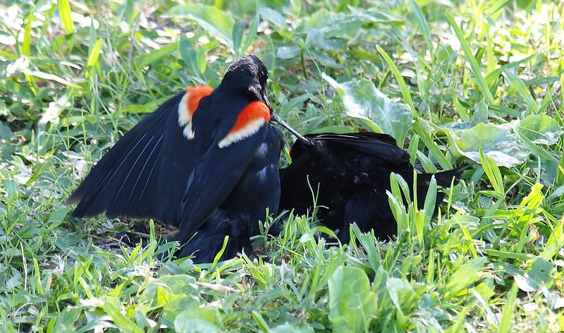 Red-winged Blackbird Death Match 27