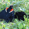 Red-winged Blackbird Death Match 27