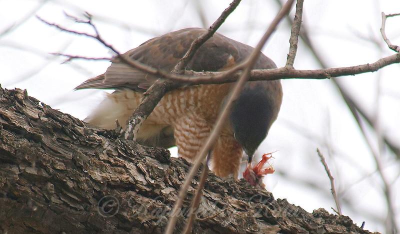 Mama Cooper's Hawk Enjoying Her Gift View 1