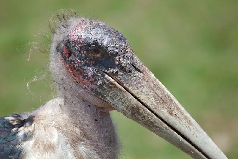 Marabou Stork 6860
