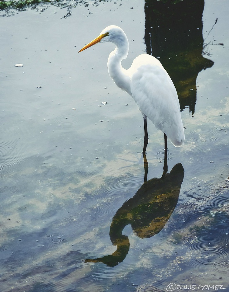 Great Egret ~ Ardea alba