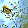 Spinus tristis – American goldfinch on tall tickseed