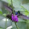 Amazilia decora – Charming hummingbird 2