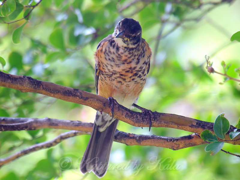 Juvenile Robin Wondering What I Am