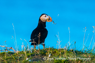 Puffin looking on