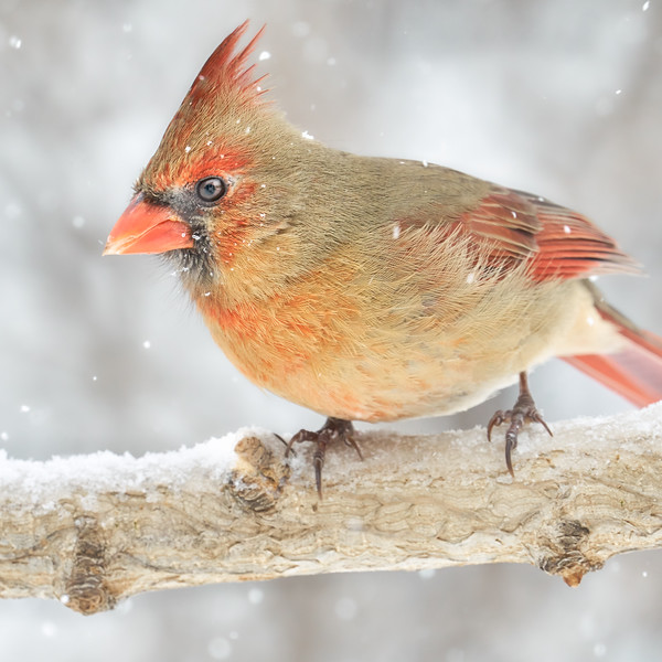Female Cardinal in a snowstorm